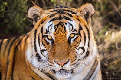 Vinilo Retrato de detalle de un tigre