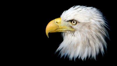 Vinilo Retrato de un águila calva americana contra un fondo negro con espacio para texto