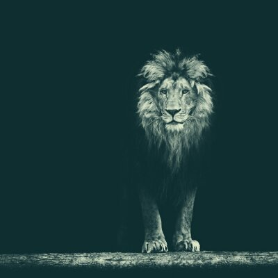 Vinilo Retrato de un hermoso león, el león en la oscuridad