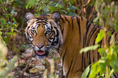 Vinilo Retrato de un tigre en la naturaleza. India. Bandhavgarh Parque Nacional. Madhya Pradesh. Una excelente ilustración.