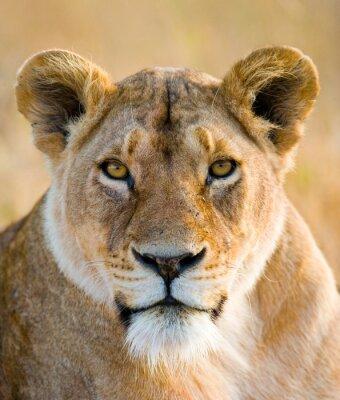 Vinilo Retrato de una leona. De cerca. Kenia. Tanzania. Maasai Mara. Serengeti. Una excelente ilustración.