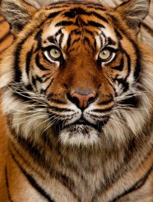 Vinilo Retrato del tigre