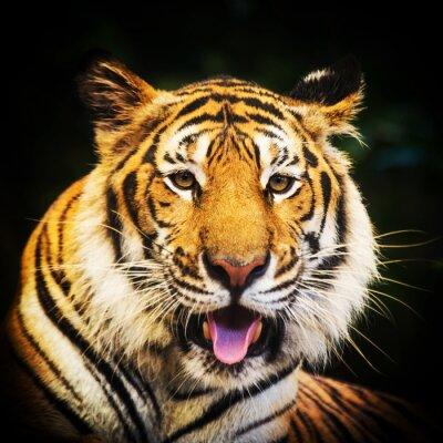 Vinilo Retrato del tigre de un tigre de Bengala.