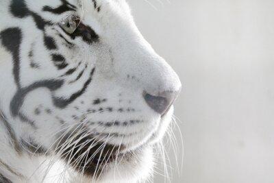 Vinilo Retrato del tigre Weißer