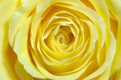 Vinilo rosa amarilla sola, a pantalla completa