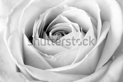 Vinilo Rosa blanca, macro blanco y negro