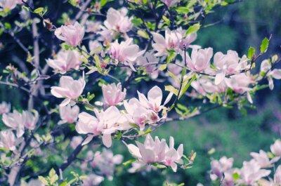 Vinilo Rosa flores de magnolia como un hermoso fondo floral de primavera (someras DOF, estilo retro)