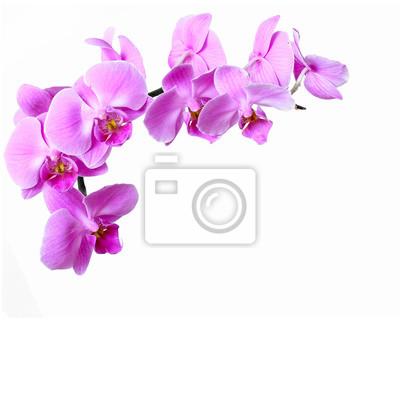 Vinilo Rosa rayado flor de la orquídea en el fondo blanco