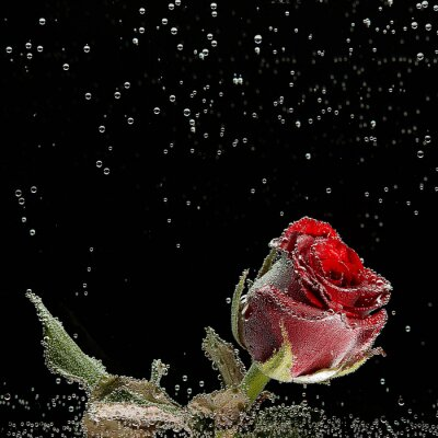 Vinilo Rosa roja en gotas de rocío sobre un fondo negro