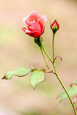 Vinilo Rose champêtre