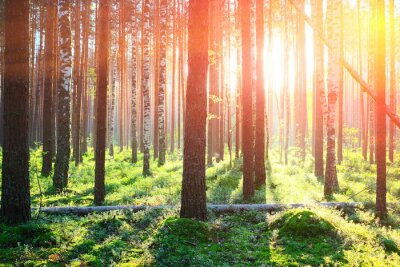 Vinilo Salida del sol en el bosque de pinos