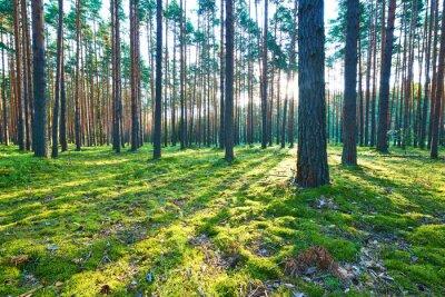 Vinilo Salida del sol en un bosque de pinos