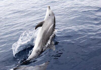 Vinilo Salvaje Delfín mular