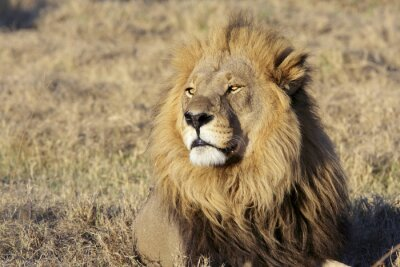 Vinilo Salvaje retrato león macho