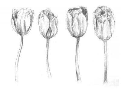 Vinilo Set of hand drawn tulips. Sketch, flower, illustration