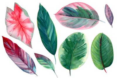 Vinilo set of leaves on isolated white background, watercolor illustration, pink and green leaves of tropical plants, rose-painted calathea, Caladium Plants