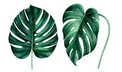 Vinilo Set of tropical monstera leaves isolated on white. Watercolor illustration.
