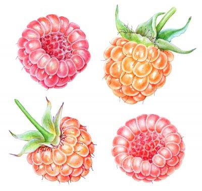 Vinilo Set of watercolor raspberries on white background