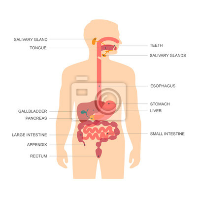 Sistema digestivo anatomía humana, ilustración vectorial estómago ...