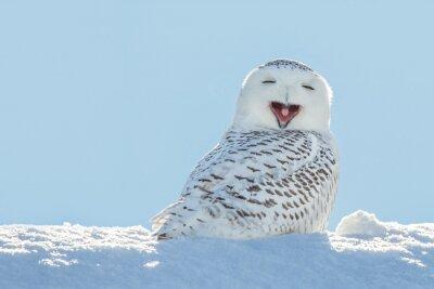 Vinilo Snowy Owl - Bostezar / sonriente en la nieve
