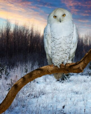 Vinilo Snowy Owl durante la puesta de sol