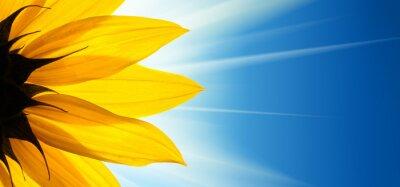 Vinilo Sol de la flor de girasol sobre fondo de cielo azul