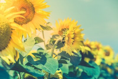 Vinilo Sunflowers Field ver más