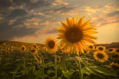 Vinilo Sunflowers on sunset