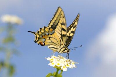Vinilo Swallowtail que se alimenta en las flores de Lantana. Velocidad de obturación lenta para capturar el ala aleteando.