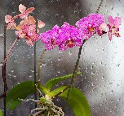 Vinilo Tallos con flores de orquídeas en una ventana de fondo con gotas de lluvia