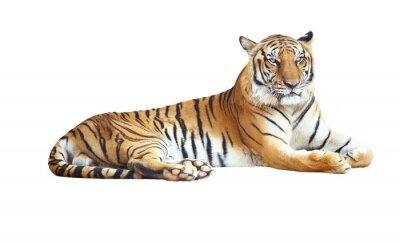 Vinilo Tiger mirando la cámara con el camino de recortes en el fondo blanco