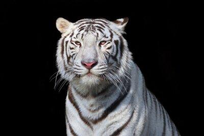 Vinilo Tigre de Bengala blanco sobre fondo negro. La bestia más peligrosa muestra su grandeza tranquila. Belleza salvaje de un gato grande severo.