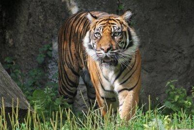 Vinilo Tigre de Sumatra en el zoológico de Varsovia. Día soleado de verano.
