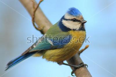 Vinilo Tit azul en frente de la rama el fondo hermoso