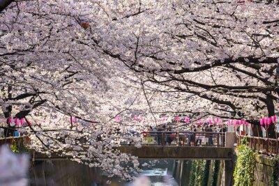 Vinilo TOKIO, JAPÓN - el 30 de marzo: Turista no identificado tomando el cuadro con la flor de la flor de cerezo tomada el 30 de marzo de 2015 en el área de Naga Meguro, Tokio. Esta zona es popular sakura lu