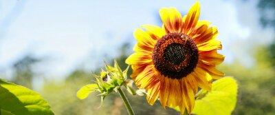 Vinilo Tournesol jaune en pleine floraison