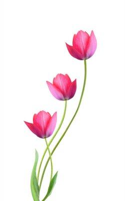 Vinilo Tres flores de tulipán aisladas sobre fondo blanco