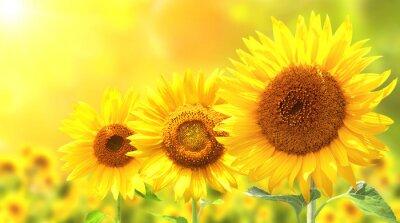 Vinilo Tres girasoles amarillos brillantes