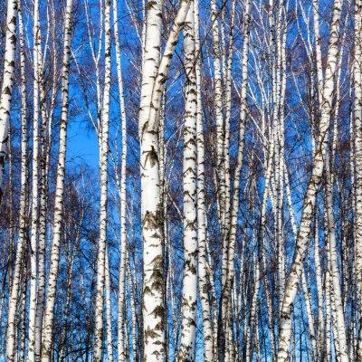 Vinilo Troncos de abedul blanco y cielo azul
