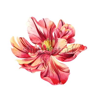 Vinilo Tulipán rosado aislado de la acuarela en el fondo blanco
