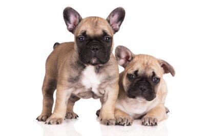 Vinilo two beige french bulldog puppies on white