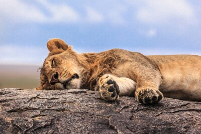 Vinilo Una leona durmiendo en la roca en Serengeti NP, Tanzania, África