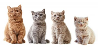 Vinilo Varios gatitos británicos