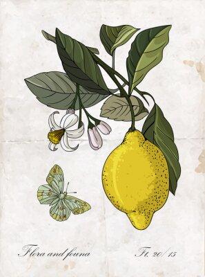 Vinilo Vector mano dibujo limón branch.Botanical ilustración.