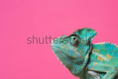 Vinilo Vista cercana de lindo colorido exótico camaleón aislado en rosa