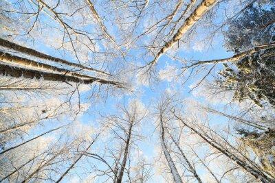 Vinilo Vista de la perspectiva de árbol cubierto de nieve mirando hacia arriba