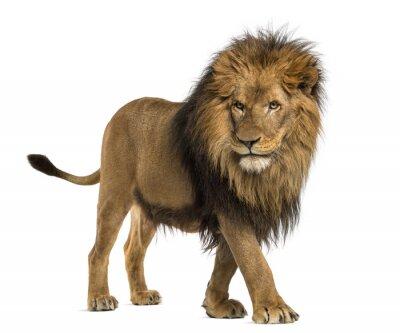 Vinilo Vista lateral de un león que camina, Panthera Leo, de 10 años