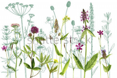 Vinilo watercolor drawing wild plants with flowers,buds and leaves, painted botanical illustration in vintage style, color floral template, hand drawn natural background