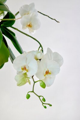 Vinilo White orchid