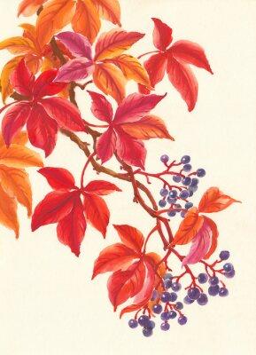 Vinilo Дикий виноград осенью, красные листья и ягоды, живопись.